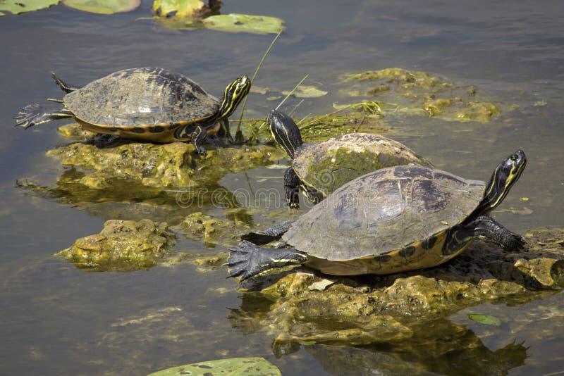 Ομάδα κόκκινος-διογκωμένων cooter χελωνών στη Φλώριδα ` s Everglades στοκ φωτογραφίες με δικαίωμα ελεύθερης χρήσης