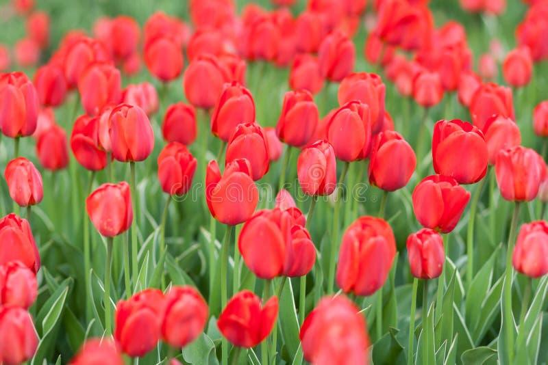 Ομάδα κόκκινων τουλιπών στο πάρκο στοκ εικόνα με δικαίωμα ελεύθερης χρήσης