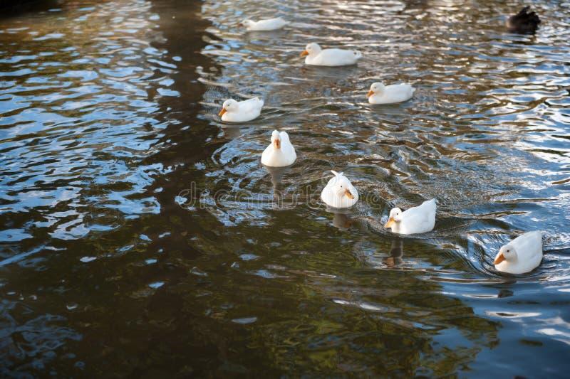 Ομάδα πάπιας στο νερό στοκ εικόνες