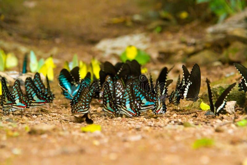 Ομάδα πεταλούδας που τρώει τα αλατισμένα γλειψίματα στο έδαφος στοκ εικόνες