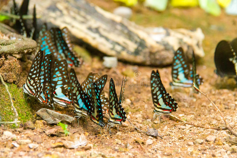 Ομάδα πεταλούδας που τρώει τα αλατισμένα γλειψίματα στο έδαφος στοκ φωτογραφίες με δικαίωμα ελεύθερης χρήσης