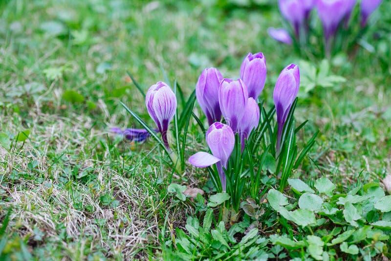 Ομάδα πορφυρού κρόκου κρόκων sativus με το εκλεκτικό/μαλακό focu στοκ εικόνες με δικαίωμα ελεύθερης χρήσης