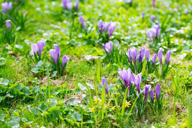 Ομάδα πορφυρού κρόκου κρόκων sativus με το εκλεκτικό/μαλακό focu στοκ φωτογραφίες με δικαίωμα ελεύθερης χρήσης