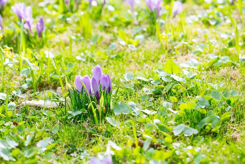 Ομάδα πορφυρού κρόκου κρόκων sativus με το εκλεκτικό/μαλακό focu στοκ φωτογραφία