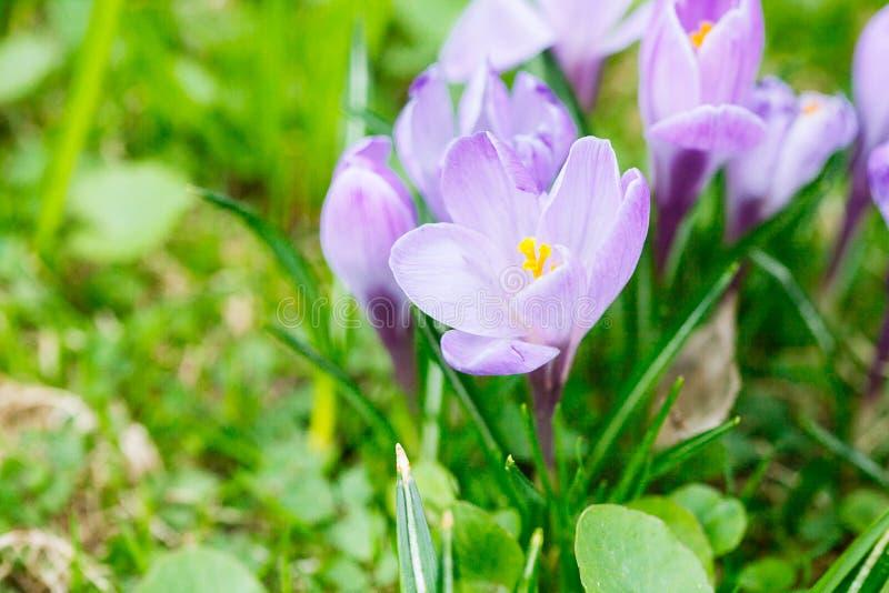 Ομάδα πορφυρού κρόκου κρόκων sativus με το εκλεκτικό/μαλακό focu στοκ εικόνα με δικαίωμα ελεύθερης χρήσης
