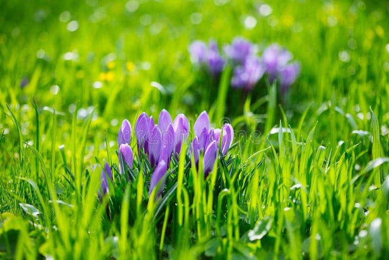 Ομάδα πορφυρού κρόκου κρόκων sativus με το εκλεκτικό/μαλακό focu στοκ φωτογραφίες