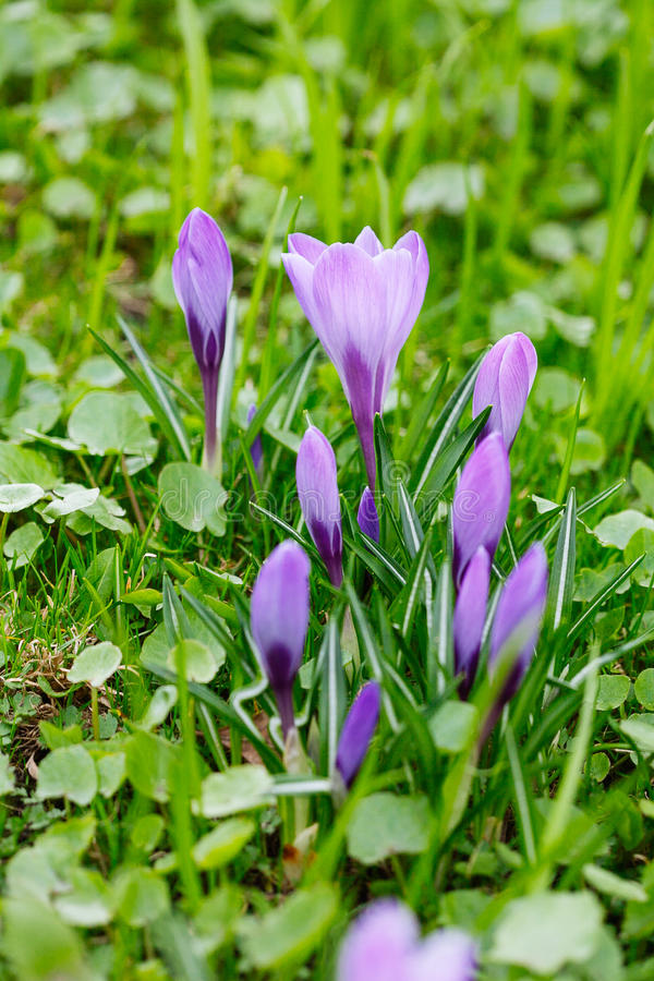 Ομάδα πορφυρού κρόκου κρόκων sativus με το εκλεκτικό/μαλακό focu στοκ εικόνες