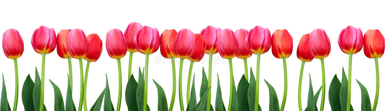 Ομάδα ρόδινων τουλιπών λουλουδιών στο άσπρο υπόβαθρο στοκ φωτογραφία με δικαίωμα ελεύθερης χρήσης