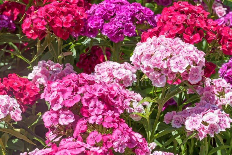 Ομάδα του γλυκού θερινού λουλουδιού του William στοκ φωτογραφία με δικαίωμα ελεύθερης χρήσης