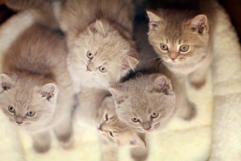 Ομάδα χαριτωμένων γκρίζων βρετανικών γατακιών στοκ φωτογραφία