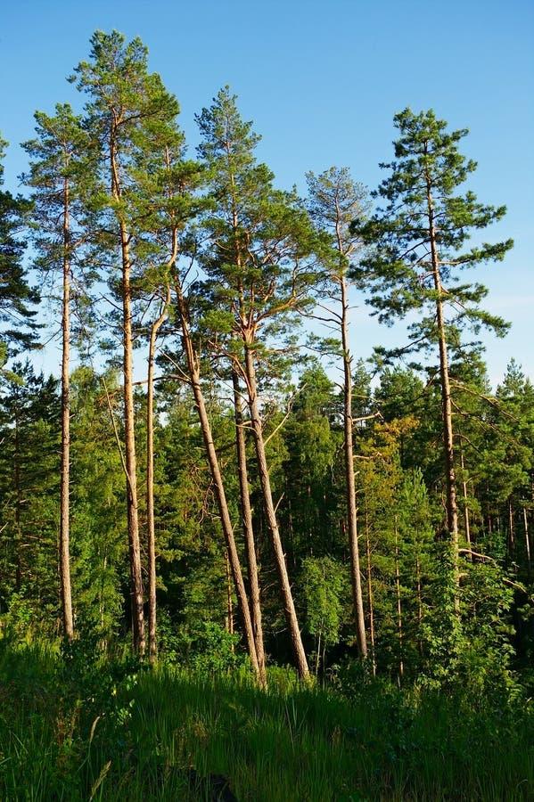 Ομάδα ψηλών δέντρων πεύκων στοκ φωτογραφίες με δικαίωμα ελεύθερης χρήσης