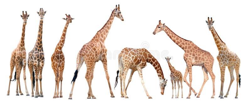 Ομάδα giraffe που απομονώνεται στοκ εικόνες με δικαίωμα ελεύθερης χρήσης