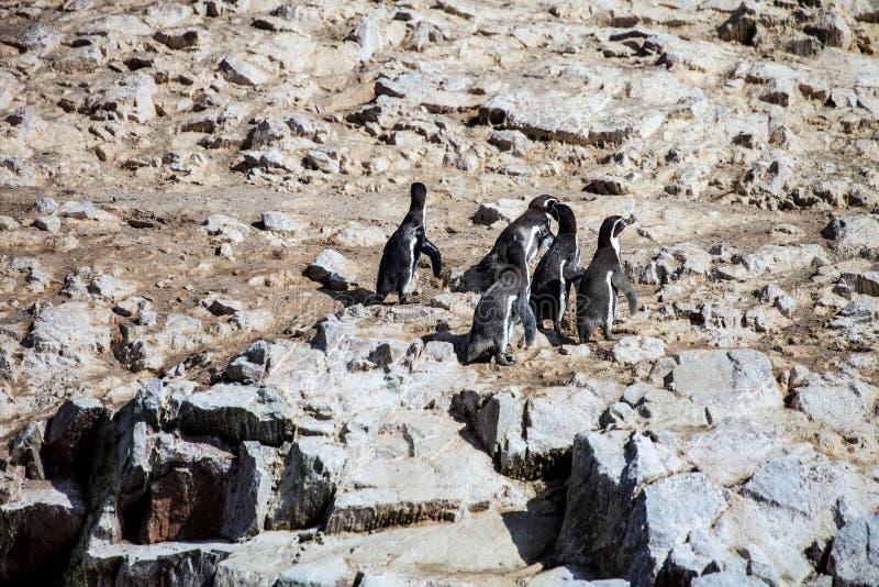 Ομάδα Humboldt penguin, humboldti Spheniscus, isla de Ballestas, Περού στοκ φωτογραφία με δικαίωμα ελεύθερης χρήσης