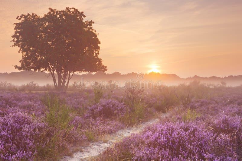 Ομίχλη πέρα από την ανθίζοντας ερείκη κοντά στο Χίλβερσουμ, οι Κάτω Χώρες στον ήλιο στοκ εικόνες με δικαίωμα ελεύθερης χρήσης