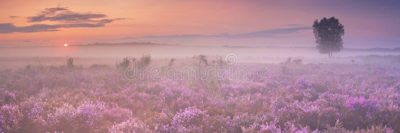Ομίχλη πέρα από την ανθίζοντας ερείκη στις Κάτω Χώρες στοκ φωτογραφία