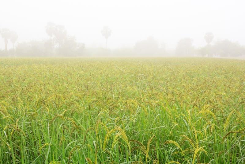 Ομίχλη πρωινού στους τομείς ρυζιού στοκ εικόνες
