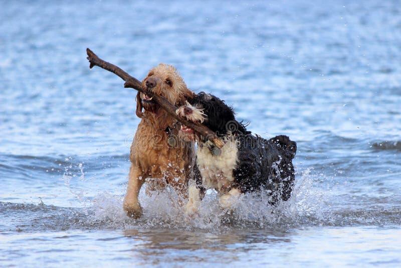 Ομαδική εργασία σκυλιών - που προσκομίζει ένα ραβδί