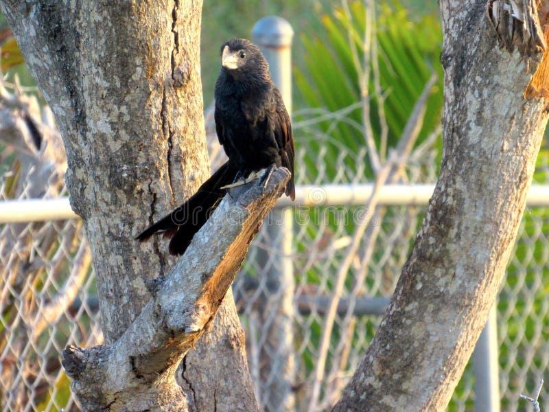 Ομαλή τιμολογημένη συνεδρίαση πουλιών Ani ειρηνικά στοκ εικόνες με δικαίωμα ελεύθερης χρήσης