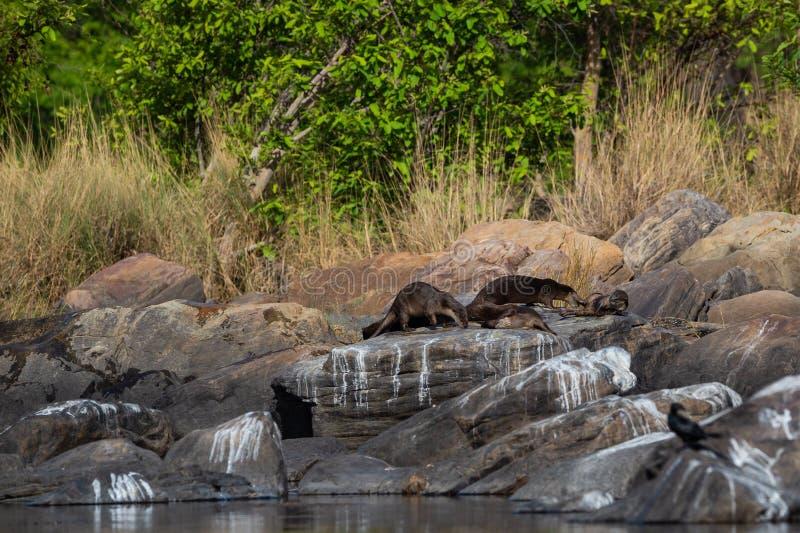 Ομαλό ντυμένο οικογενειακό Lutrogale ενυδρίδων pers στον ήλιο στους βράχους μετά από να πάρει την εμβύθιση στο νερό του chambal π στοκ εικόνα με δικαίωμα ελεύθερης χρήσης