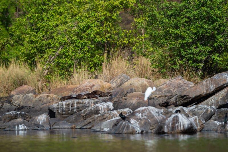 Ομαλό ντυμένο οικογενειακό Lutrogale ενυδρίδων pers στον ήλιο στους βράχους μετά από να πάρει την εμβύθιση στο νερό του chambal π στοκ φωτογραφίες με δικαίωμα ελεύθερης χρήσης