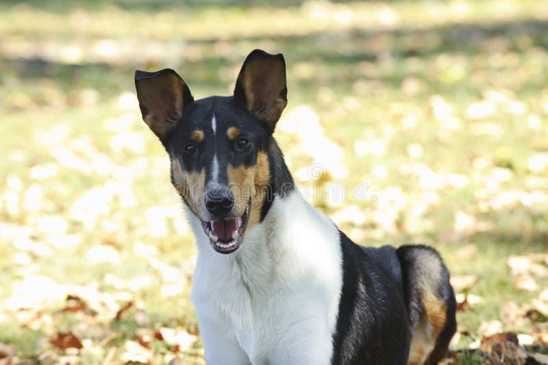 Ομαλό σκυλί κόλλεϊ στοκ φωτογραφία με δικαίωμα ελεύθερης χρήσης
