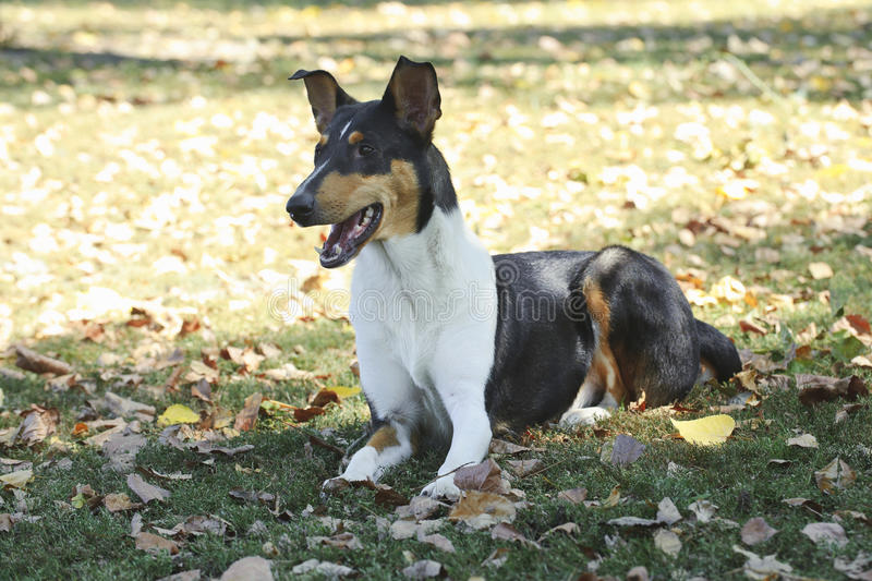 Ομαλό σκυλί κόλλεϊ στοκ εικόνα με δικαίωμα ελεύθερης χρήσης