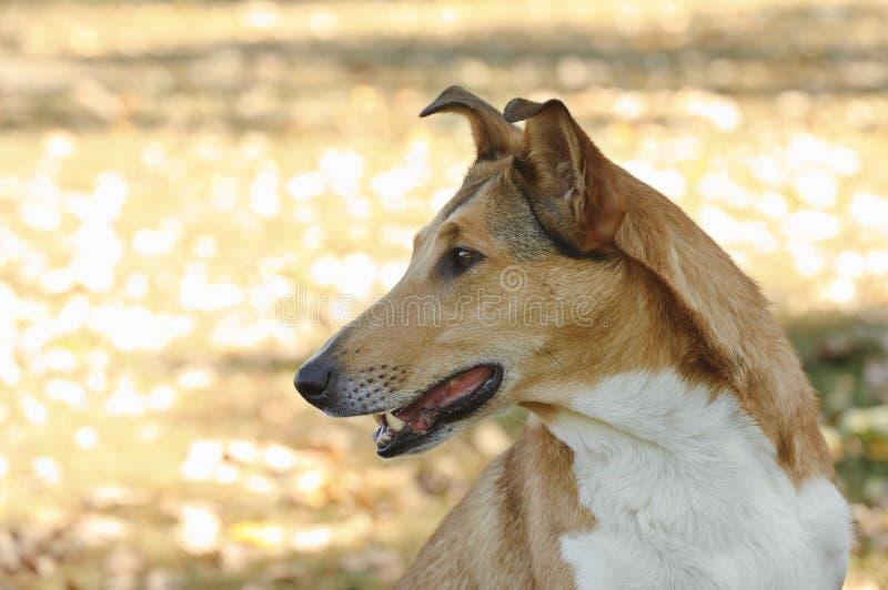 Ομαλό σκυλί κόλλεϊ στοκ εικόνες με δικαίωμα ελεύθερης χρήσης