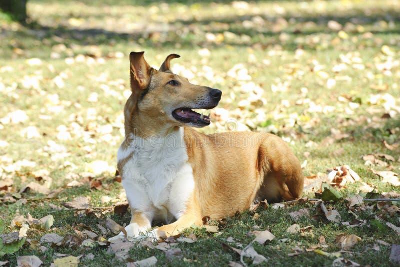 Ομαλό σκυλί κόλλεϊ στοκ εικόνες