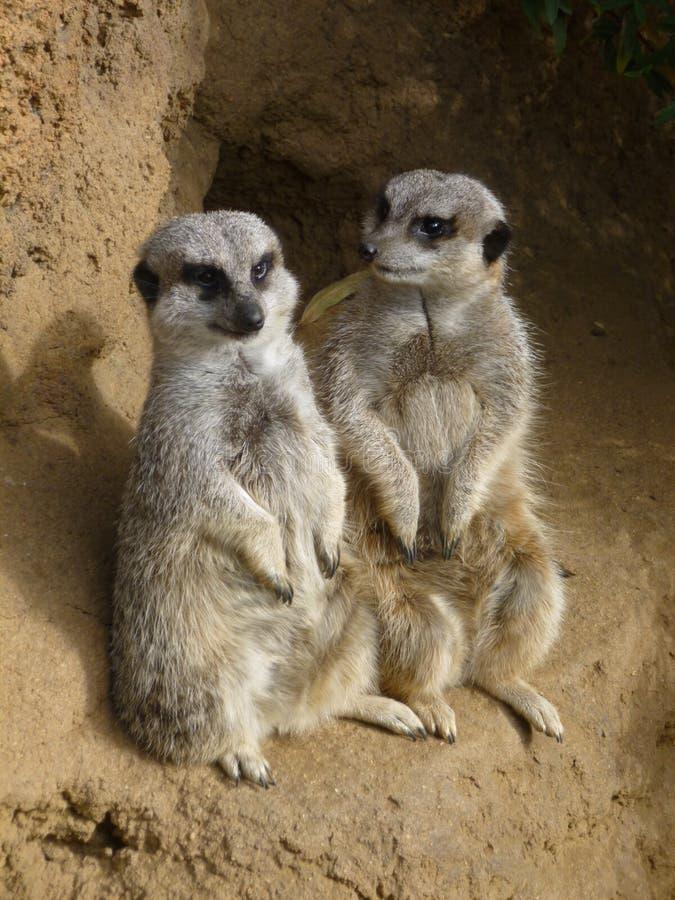 Ομιλία δύο meercats στοκ φωτογραφίες