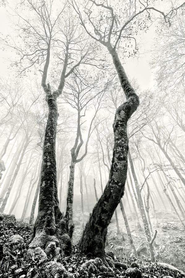Ομιχλώδες δάσος με τα ανατριχιαστικά δέντρα σε γραπτό στοκ εικόνα με δικαίωμα ελεύθερης χρήσης