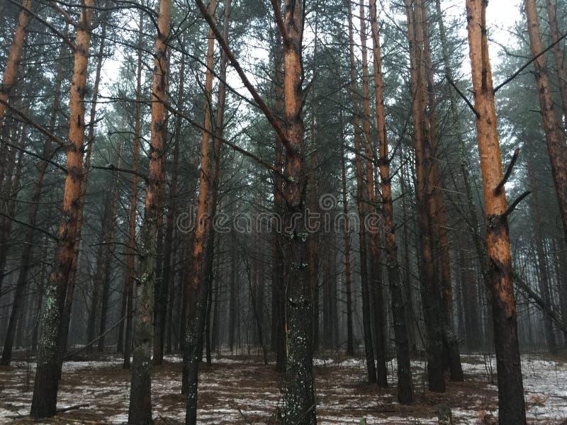 Ομιχλώδες δάσος χειμερινών πεύκων το πρωί στοκ φωτογραφία με δικαίωμα ελεύθερης χρήσης