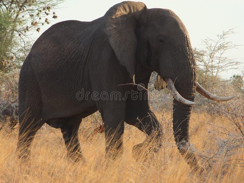 Ομοβροντία ελεφάντων στοκ φωτογραφία