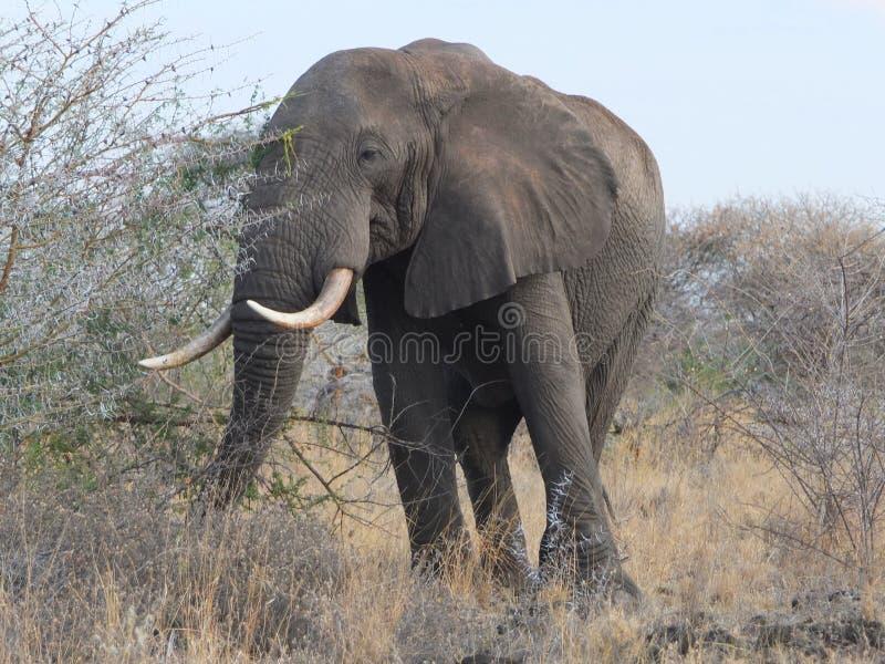 Ομοβροντία ελεφάντων στοκ εικόνες με δικαίωμα ελεύθερης χρήσης