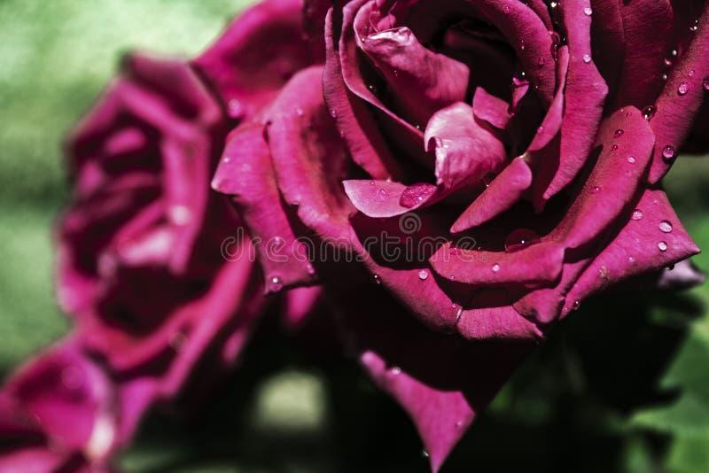 Ομορφιά και τριαντάφυλλα φύσης στοκ εικόνες