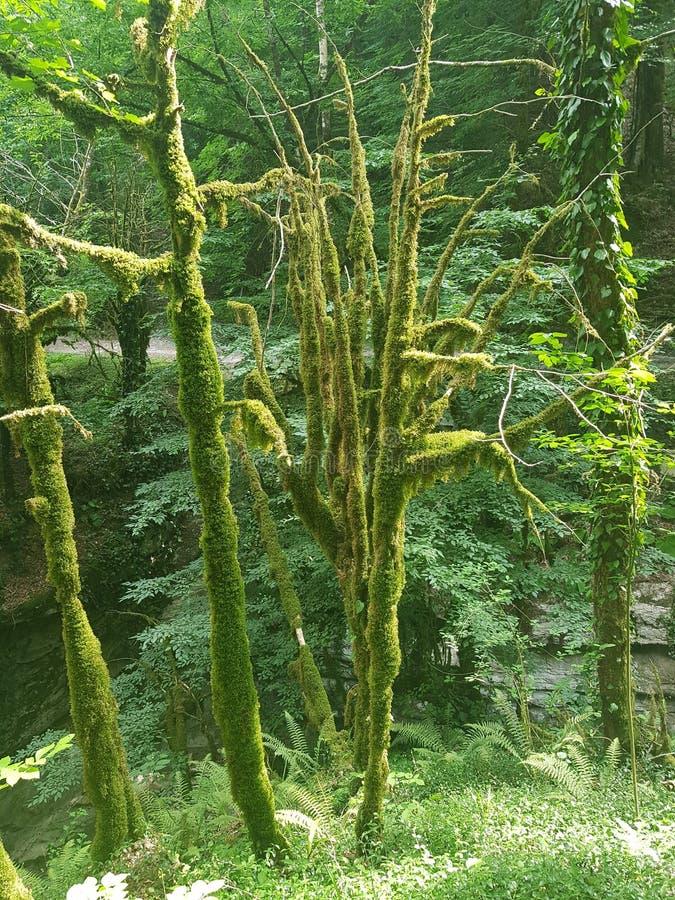 Ομορφιά Bewitching και μαγικός του ήρεμου δάσους πυξαριού στοκ εικόνες