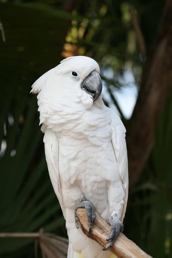 ομπρέλα cockatoo στοκ φωτογραφία με δικαίωμα ελεύθερης χρήσης
