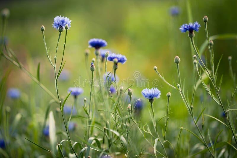Ονειροπόλα μπλε cornflowers σε έναν τομέα στοκ φωτογραφίες