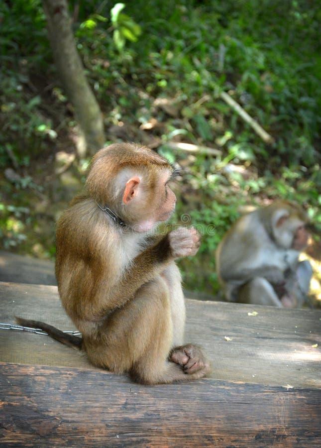 ονειροπόλος λίγος πίθηκος στοκ φωτογραφία με δικαίωμα ελεύθερης χρήσης