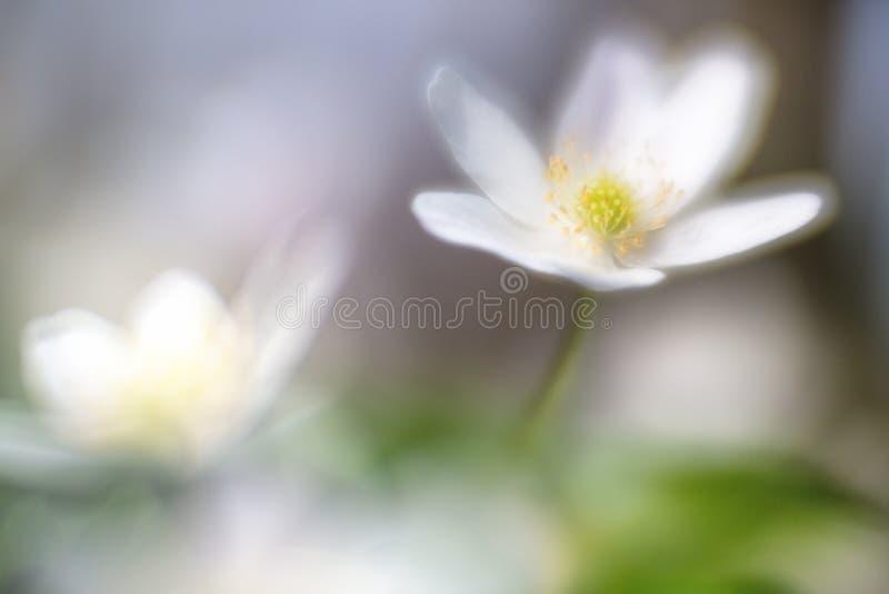 Ονειροπόλο άγριο ξύλινο anemone στη μαλακή εστίαση στοκ εικόνες με δικαίωμα ελεύθερης χρήσης