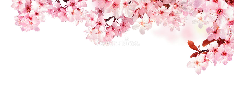 Ονειροπόλα άνθη κερασιών που απομονώνονται στο λευκό στοκ εικόνα