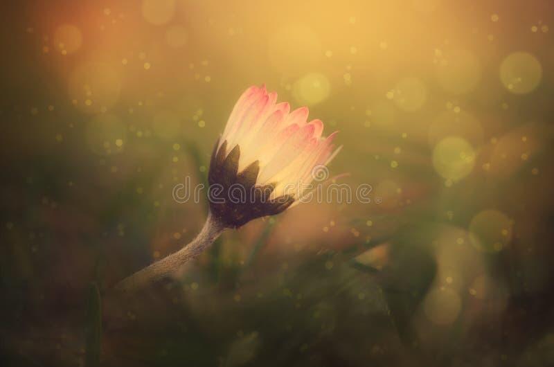 Ονειροπόλος φωτογραφία ενός λουλουδιού μαργαριτών στοκ εικόνα με δικαίωμα ελεύθερης χρήσης