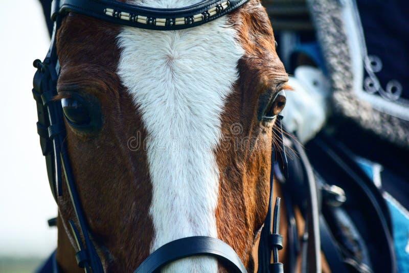 Ονομασμένο άλογο ρουβίδιο στοκ εικόνα