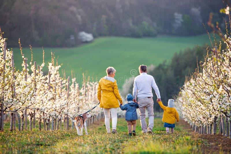 Οπίσθια όψη των ηλικιωμένων παππούδων με τα εγγόνια των νηπίων που περπατάνε σε ορχιδέα την άνοιξη στοκ εικόνα