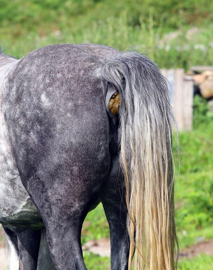 Οπίσθιο άκρο ενός αλόγου ή arse Άλογο Shit στοκ φωτογραφία με δικαίωμα ελεύθερης χρήσης
