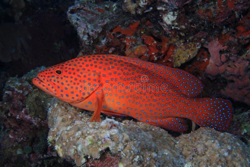 Οπίσθιο Grouper κοραλλιών (miniata cephalopholis) στοκ εικόνα