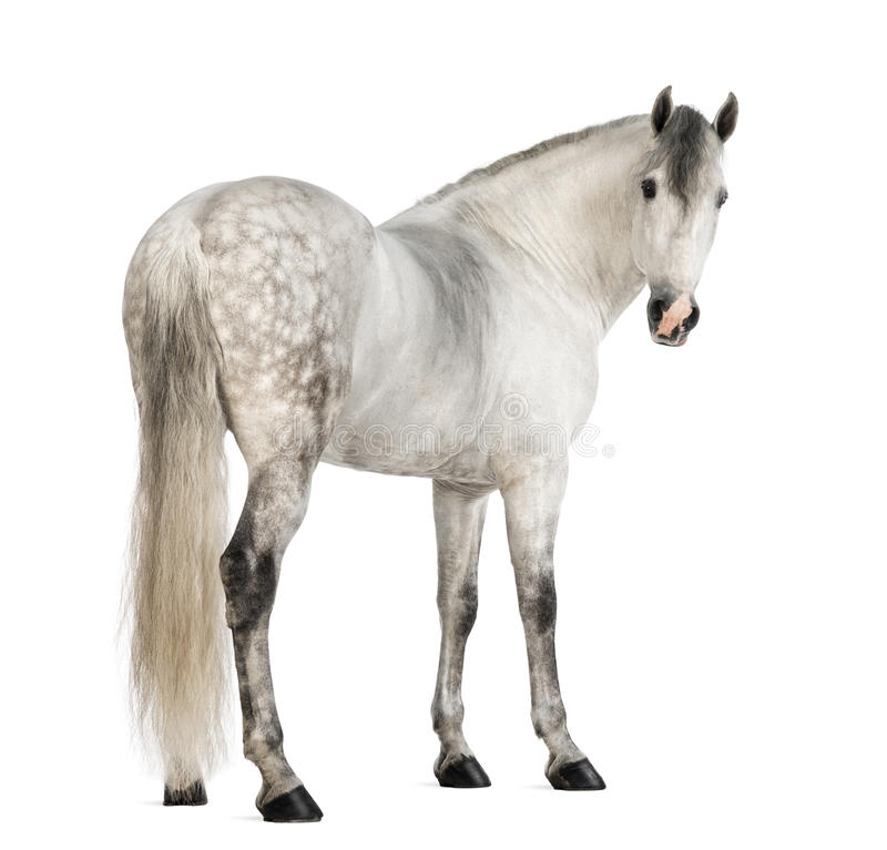Οπισθοσκόπος αρσενικού ενός ανδαλουσιακού, 7 χρονών, επίσης γνωστών ως καθαρό ισπανικό άλογο ή ΠΡΟ, ξανακοιτάζοντας στοκ φωτογραφίες με δικαίωμα ελεύθερης χρήσης