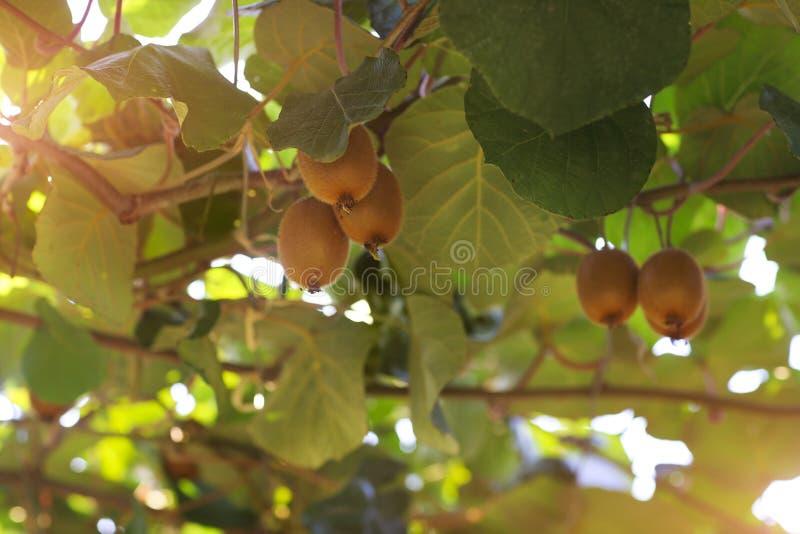 Οπωρωφόρο δέντρο ακτινίδιων στοκ φωτογραφίες με δικαίωμα ελεύθερης χρήσης