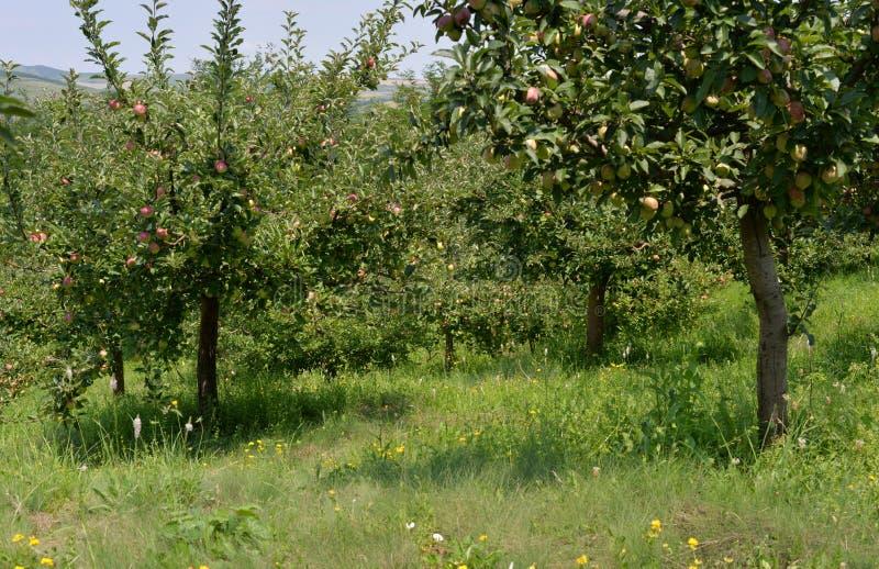 Οπωρώνας μήλων λόφων Transylvanian στοκ φωτογραφίες με δικαίωμα ελεύθερης χρήσης