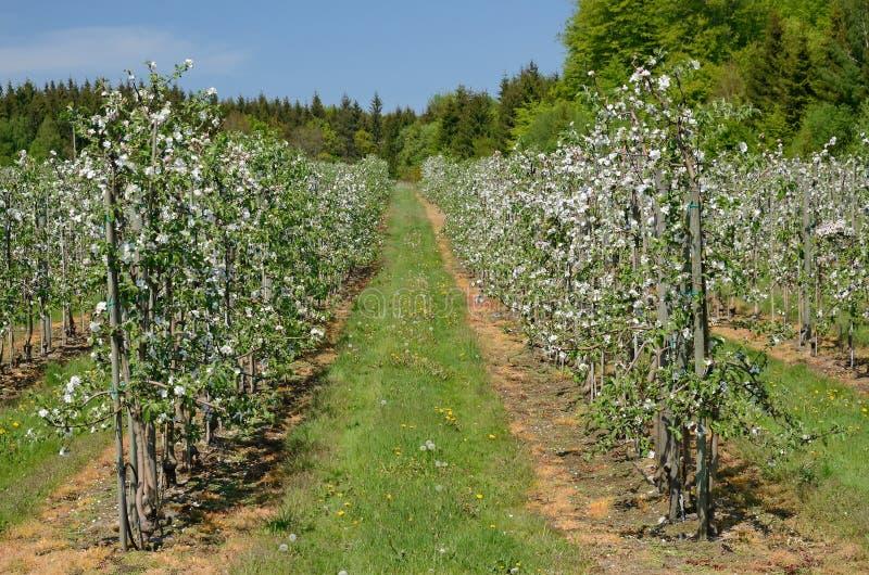 οπωρώνας μήλων σουηδικά στοκ φωτογραφίες