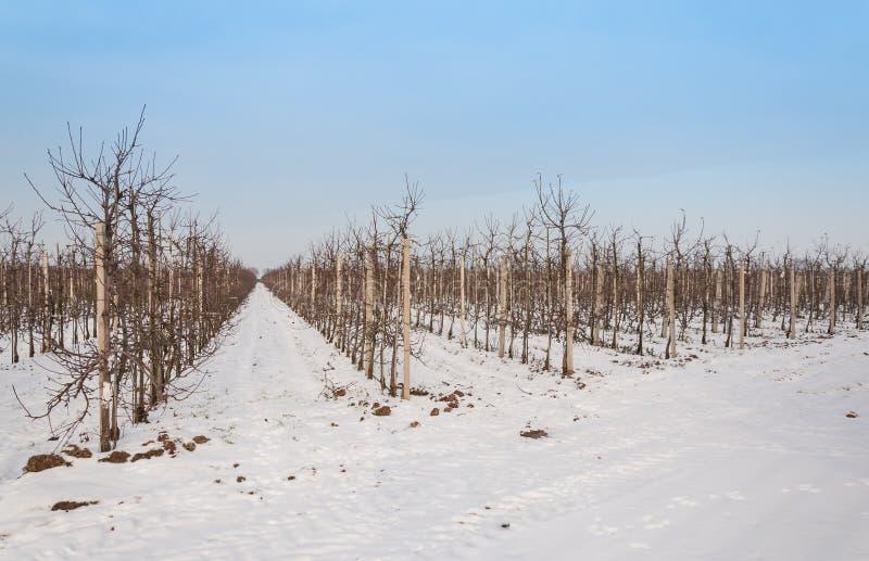 Οπωρώνας με τα χαμηλά δέντρα μηλιάς το χειμώνα στοκ εικόνες